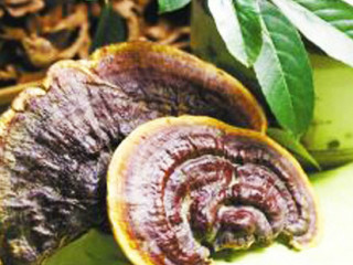 作为药物用以治疗疾病的真菌。它们在生长、发育的代谢活动中,能于菌丝体、菌核或子实体内产生酶、蛋白质、脂肪酸、氨基酸、肽类、多糖(见碳水化合物)、生物碱、甾醇、萜类、苷类以及维生素等具有药理活性或对人体
