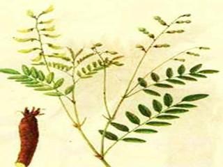 黄芪的药用迄今已有2000多年的历史,其有增强机体免疫功能、保肝、利尿、抗衰老、抗应激、降压和较广泛的抗菌作用。但表实邪盛,气滞湿阻,食积停滞,痈疽初起或溃后热毒尚盛等实证,以及阴虚阳亢者,均须禁服。